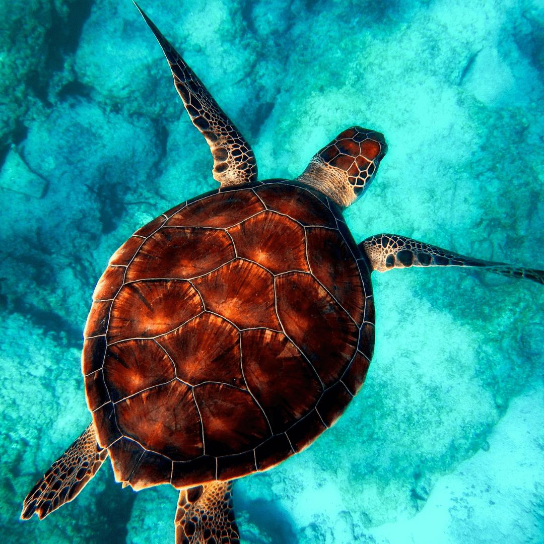Tortugas marinas: un reflejo de nuestros oceanos